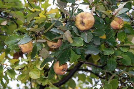 Organic quince in the rain. Wet leaves and quince fruits on a branch. Raindrops on a quince tree. Ripening fruit.