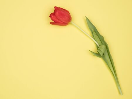 Red Tulip on a yellow background. The view from the top. Spring flower.