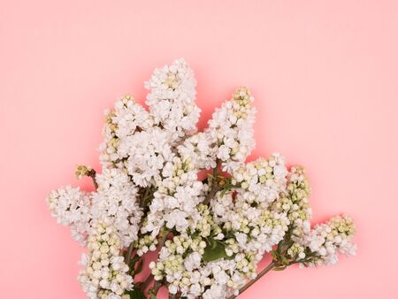 Bouquet of white lilac on a pink background. Close-up. Standard-Bild