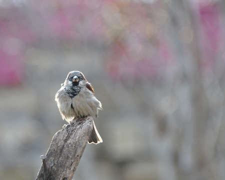 Sparrow sits on an old wooden beam, basking in the sun, vigilantly peering into the distance against a pinkish background. 版權商用圖片