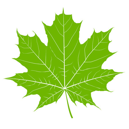 Green maple leaf. Isolated Vector