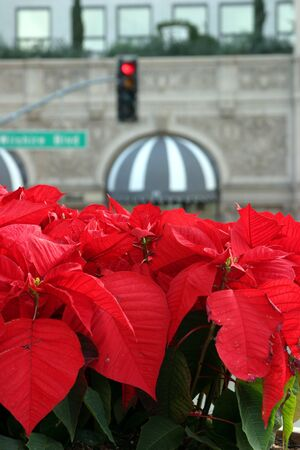 Poinsettia on Rodeo Drive next to Beverly Wilshire Hotel in Los Angeles photo