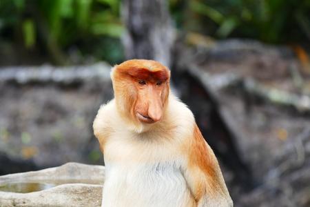 Beautiful monkey Nasalis larvatus against a background of tropical island jungle.