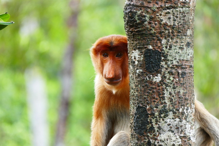 Beautiful monkey Nasalis larvatus against a background of tropical island jungle.