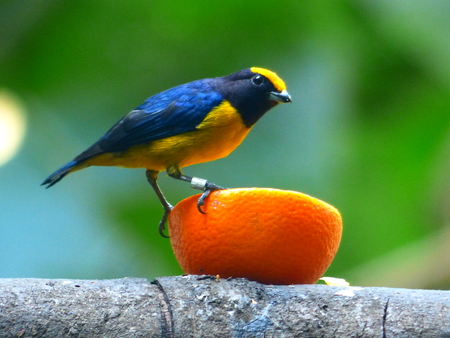 Beautiful tropical bird sitting on a juicy tropical fruit.