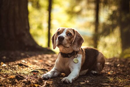 beautiful dog hunter puppy beagle lies in the fairy forest on the autumn ground in the rays of the sunset