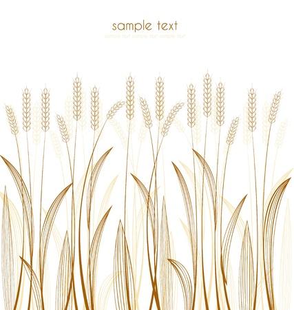 ječmen: obilovin trávy na bílém pozadí