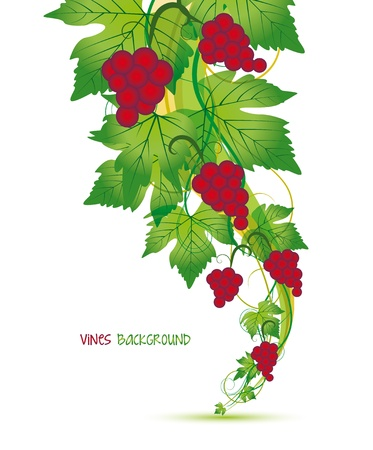 wine growing: Decorations of red grapes on a white background