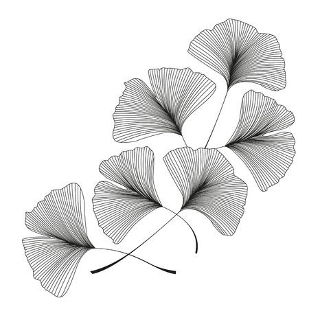 Ginkgo biloba leaves Illustration