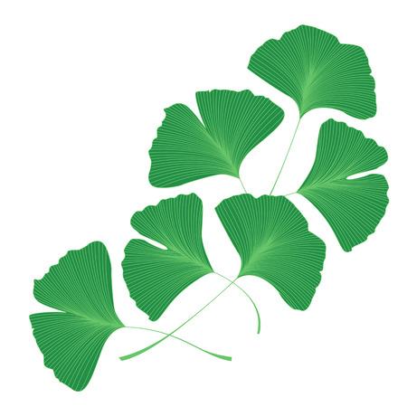 Ginkgo biloba leaves Illustration
