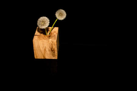 Dandelion flowers with reflection on black background. 免版税图像