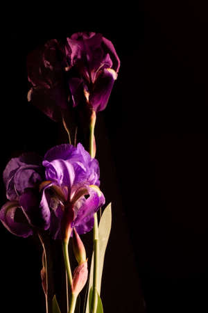 Reflections of purple and purple iris flowers and stems on a black background.