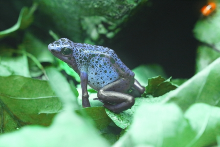 anura: Azureus in tropical forest