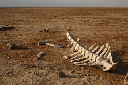 dead animal: skeleton in desert with single bones around