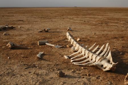 animal skull: skeleton in desert with single bones around