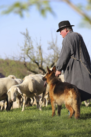 flock: Beuren Baden Wrtemberg Germany April 19 2015: A traditional dressed sheepherder is holding his German shepherd dog looking after his flock of sheep.