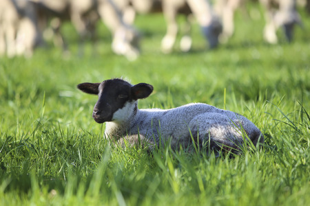 wit: Lamb lying in grass wit the lock behind Stock Photo