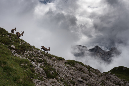 Alpine goats in the cloudy landscape of Friuli Dolomites (Mt. Duranno).