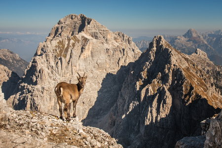 An alpine ibex framed in a Julian Alps mountain. Stockfoto