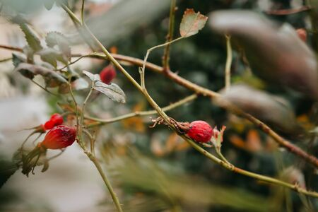 Rosehip plant. Natural floral background. Banner background for your seasonal holiday flyers, greetings and invitations, posters and greeting cards. Copy space Stockfoto