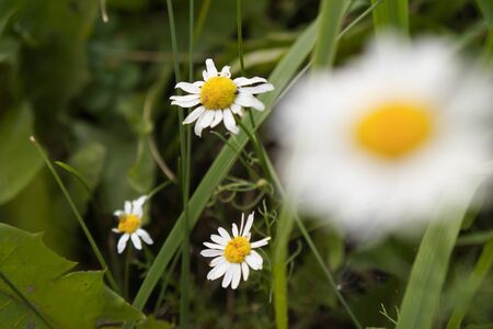 Chamomile on a background of green grass. Natural floral background. Banner background for your seasonal holiday flyers, greetings and invitations, posters and greeting cards.