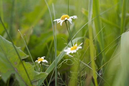 Chamomile on a background of green grass. Natural floral background. Banner background for your seasonal holiday flyers, greetings and invitations, posters and greeting cards. Copy space Stockfoto