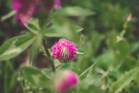 Clover flower a background of green grass. Natural floral background. Banner background for your seasonal holiday flyers, greetings and invitations, posters and greeting cards. Copy space Stockfoto