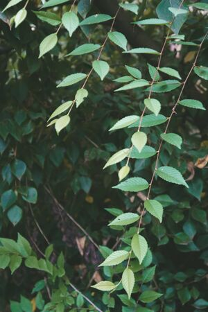 Green leaves hang down. Natural floral background. Banner background for your seasonal holiday flyers, greetings and invitations, posters and greeting cards. plants. Copy space