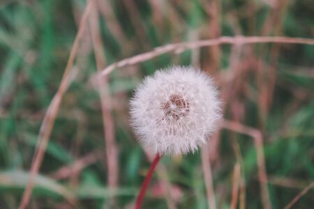 Dandelion on a background of green grass. Natural floral background. Banner background for your seasonal holiday flyers, greetings and invitations, posters and greeting cards. Copy space Stockfoto