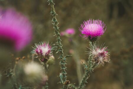 Pink thistle flowers. Natural floral background. Banner background for your seasonal holiday flyers, greetings and invitations, posters and greeting cards. Copy space