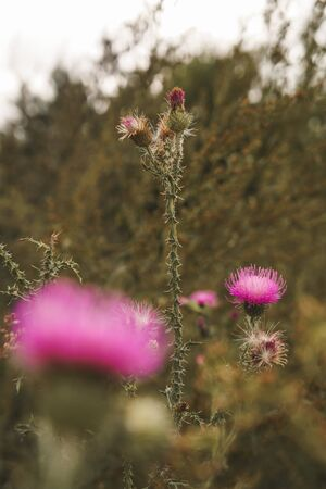 Pink thistle flowers. Natural floral