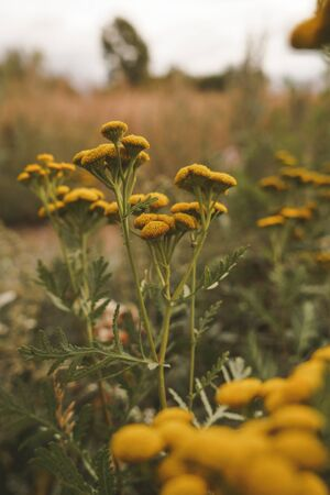 Yellow flowers tansy on a background of grass. Natural floral background. Banner background for your seasonal holiday flyers, greetings and invitations, posters and greeting cards. Copy space