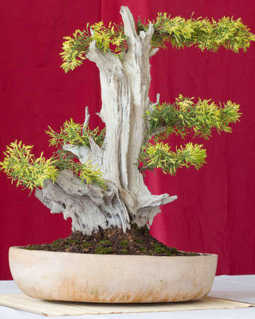 beautiful juniperus bonsai  photo
