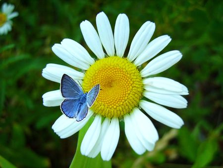 Blue butterfly siting on a camomile