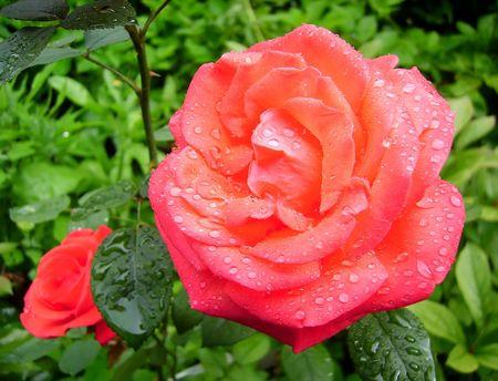 Pink rose in garden after rain  版權商用圖片
