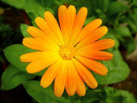 orange calendula with raindrops