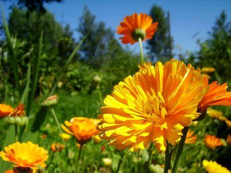 Orange calendulas Stock Photo