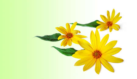 Composition of three yellow flowers on green and white background photo