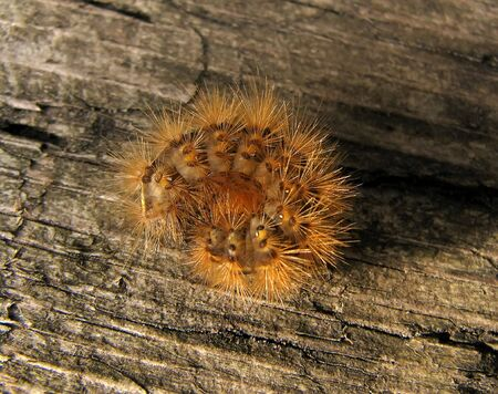 Shaggy cartepillar on wood background photo