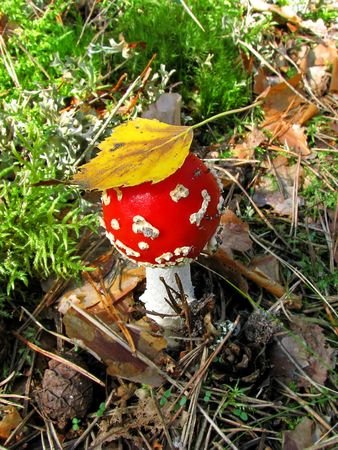 Fly agaric in autumn forest photo
