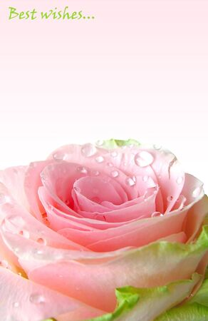 Pink rose with water drops background photo