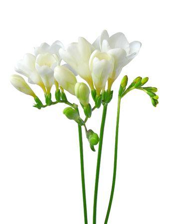 White freesia isolated on white background Stock Photo