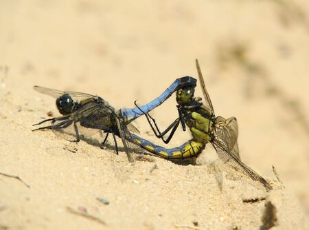 copulate: Blue and yellow dragonflies on sand Stock Photo