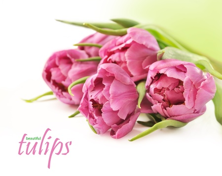 bunch up: Pink tulips on white background Stock Photo