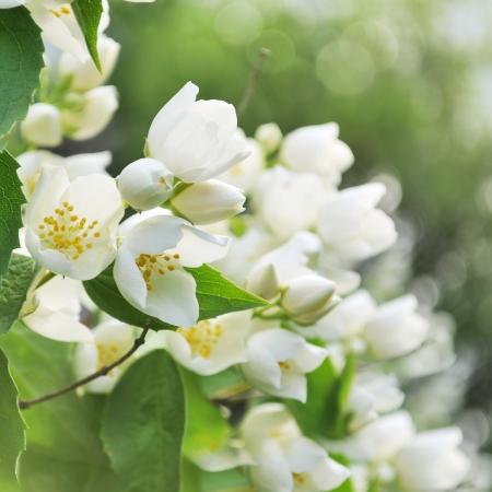 jasmine bush: Blooming jasmine bush with focus on front flowers