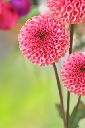 Dahlia flowers on blurry background and free space for text 版權商用圖片