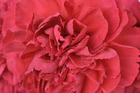 Red carnation flower texture background Stock Photo