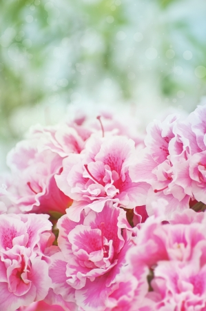 Pink blooming azaleas bush background photo