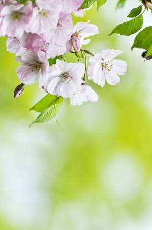 japanesse: Japanesse sakura blossom background with place for text Stock Photo