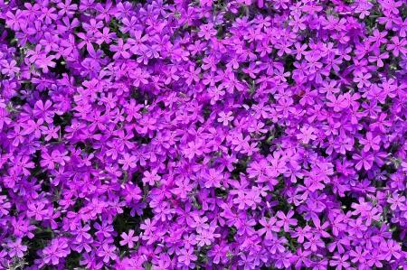 flores moradas: Pink Phlox subulata flores de fondo